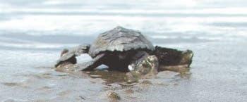 Explotación afecta conservación de tortugas