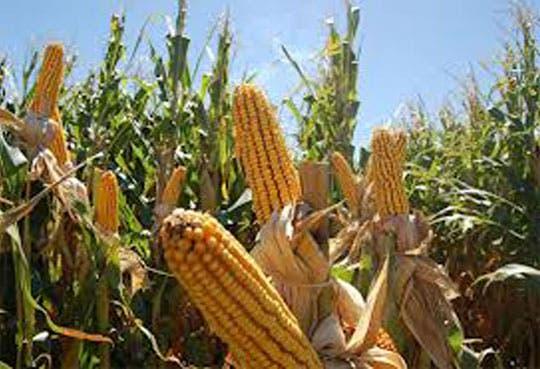 201302051143341.Maiz-transgenico.jpg
