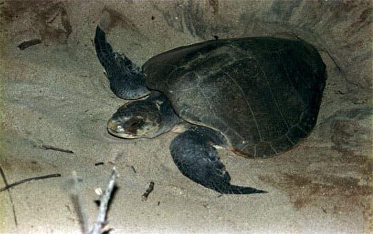 Población de tortugas anidadoras se estabiliza