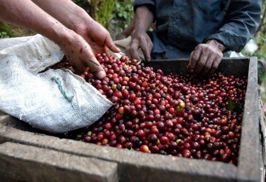 Cafetaleros tendrán acceso a ¢10 mil millones