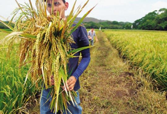 Gobierno y Conarroz trabajarán en precios del grano