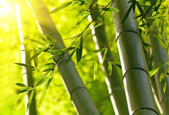 Experto chino cree Latinoamérica puede ser potencia de bambú
