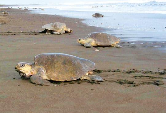 Fracasa proyecto de ley que reducía santuario de tortugas