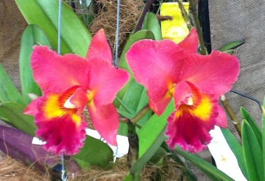 Exposición de orquídeas en Naranjo