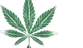 Legalización de marihuana genera interés y pasividad