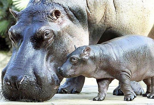 201308010935571.hipopotamo-pigmeo.jpg