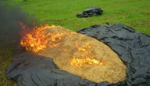 Destruyen arroz que entró ilegalmente