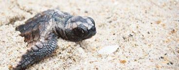 Guanacaste unido por las tortugas