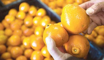 Demandan mayores controles en importaciones de cítricos de Sudáfrica