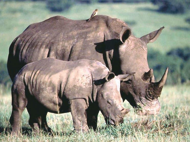 Cuerno de rinoceronte vale más que el oro en Asia