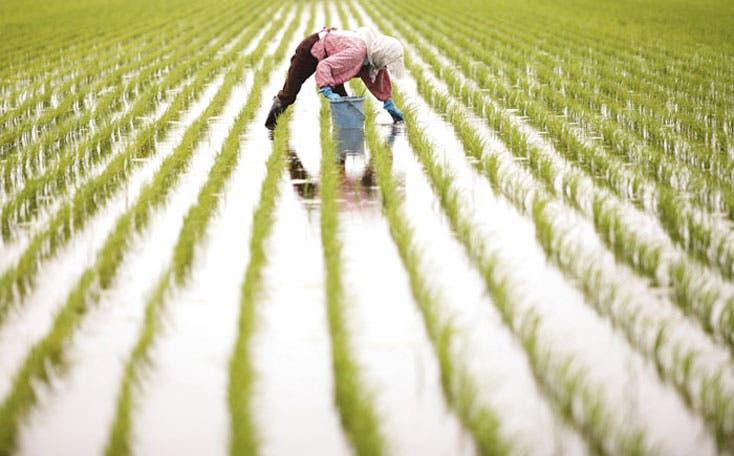 Japón inaugura recuperación de arrozales