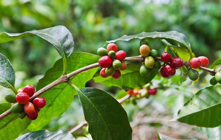 Producción de café levantaría un 4,5%