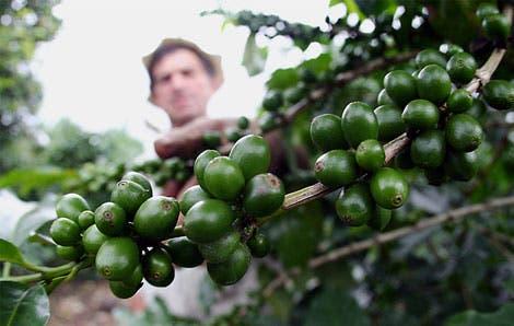 Cafetaleros reducen en un 40% impacto de la roya
