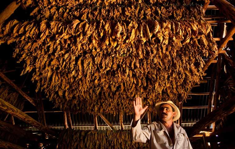 Productores de tabaco piden respaldo para su producción