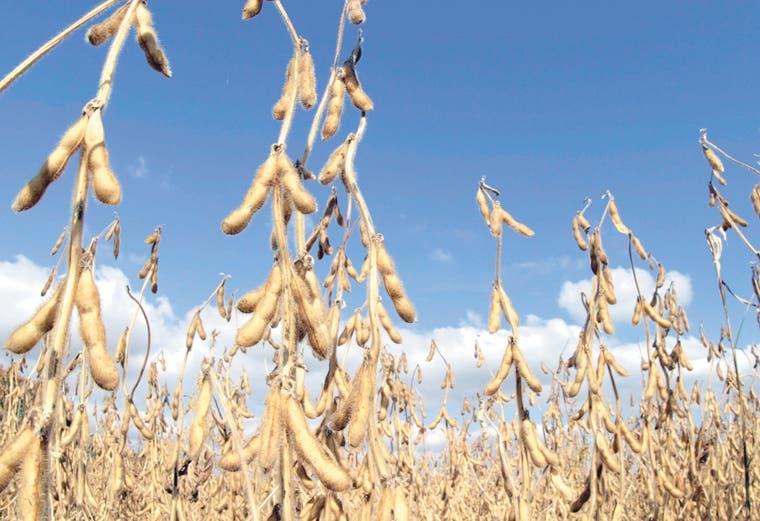Productores de soja cultivan más aumentando el exceso de oferta