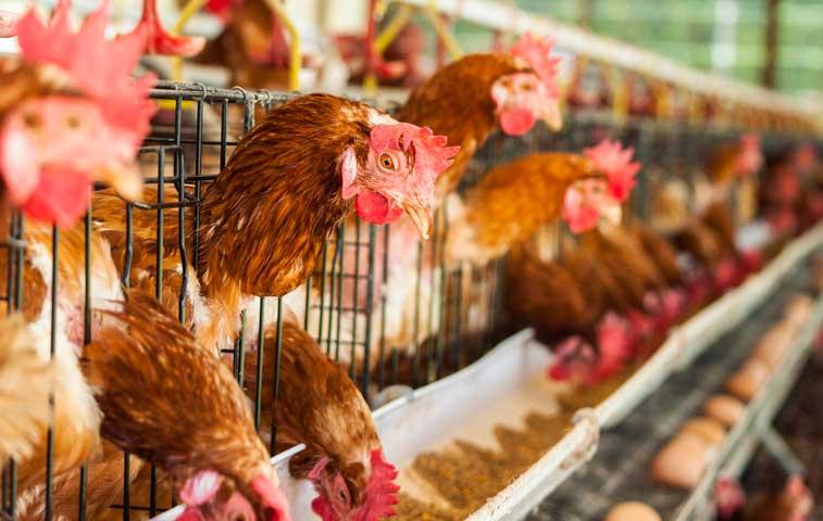 Empresas ticas ajustan cadenas de suministro a políticas de bienestar animal