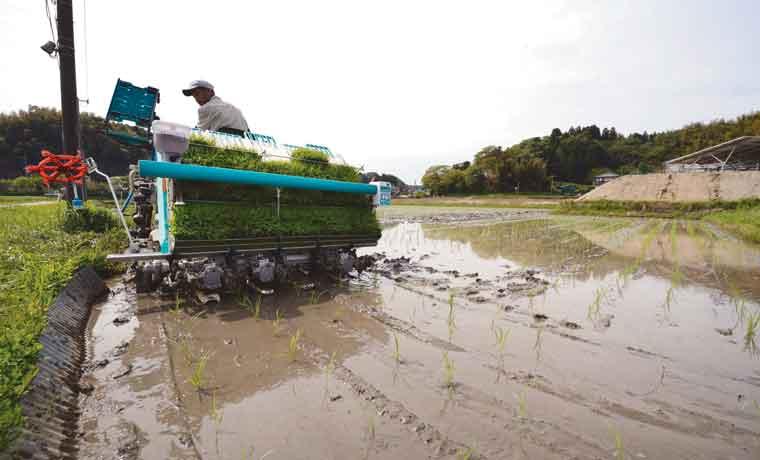 Toneladas de arroz se pudren mientras El Niño amenaza