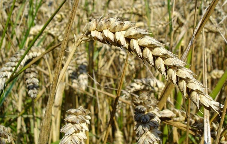 Argentina prevé cosechas récord de trigo y maíz por nuevas reglas