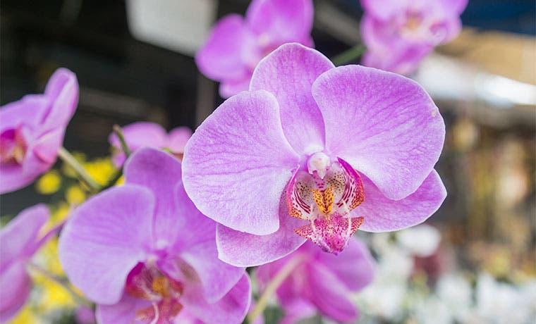 Feria reunirá más de 300 especies de orquídeas