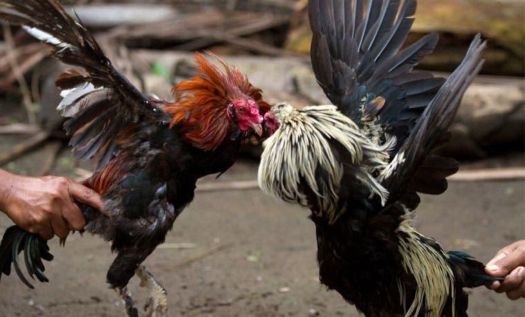 Piden a Solís priorizar ley que castiga con cárcel peleas de gallos y perros