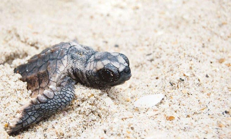 Programa de conservación de APM rescató 9 mil tortugas