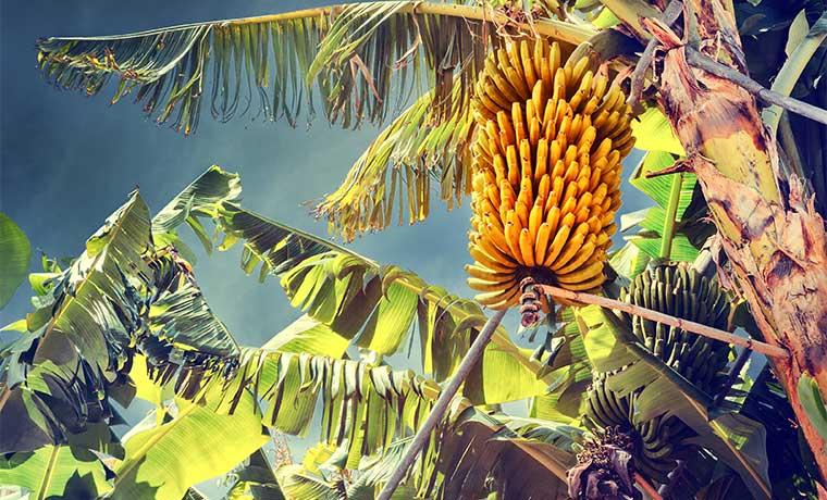 Agro corre para enfrentar hongo que infecta producción bananera