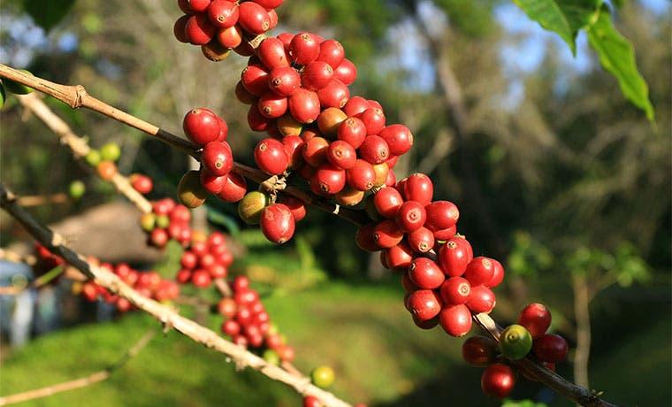 Grupo cafetero colombiano: Fondo estabilizador está casi listo
