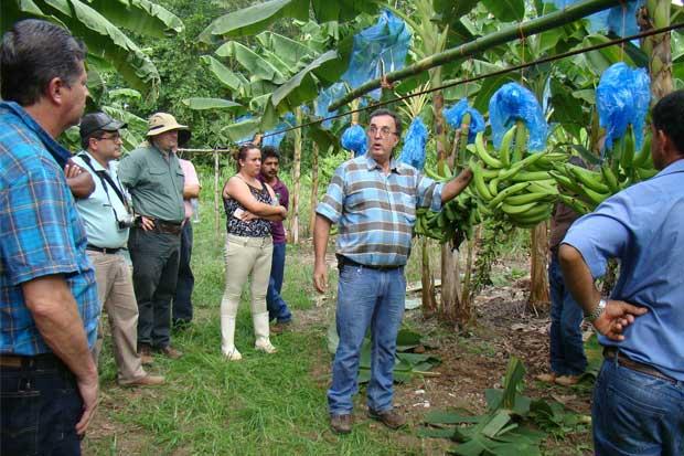 Productores de plátano con nuevas variedades