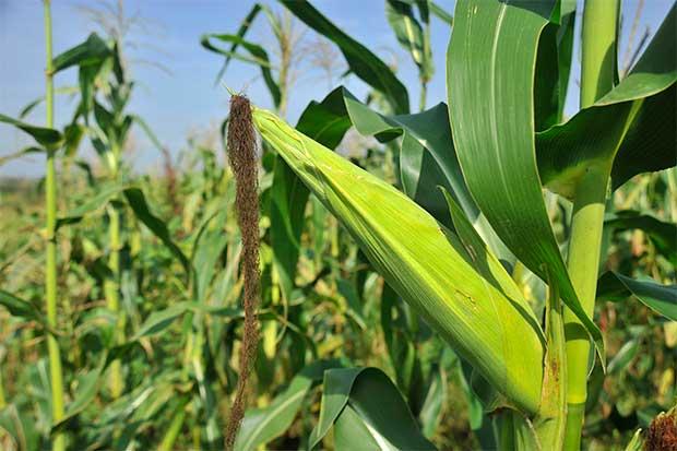 Brasil exporta maíz a EE.UU. en medio de contracción de la oferta