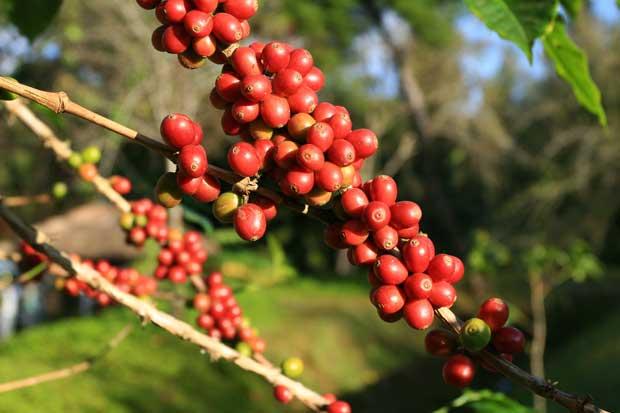 Asiáticos se toman el mejor café de Costa Rica