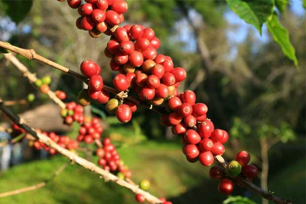 Empresarias del café podrán vender en Estados Unidos