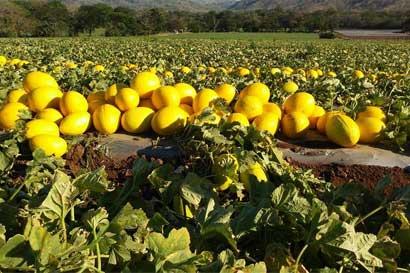 Pyme tica exporta 95% de sus melones y sandía a Europa
