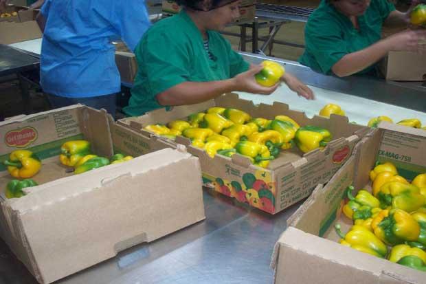 Exportaciones de chile a EE.UU. aumentaron hasta 815 mil kilos en tres años