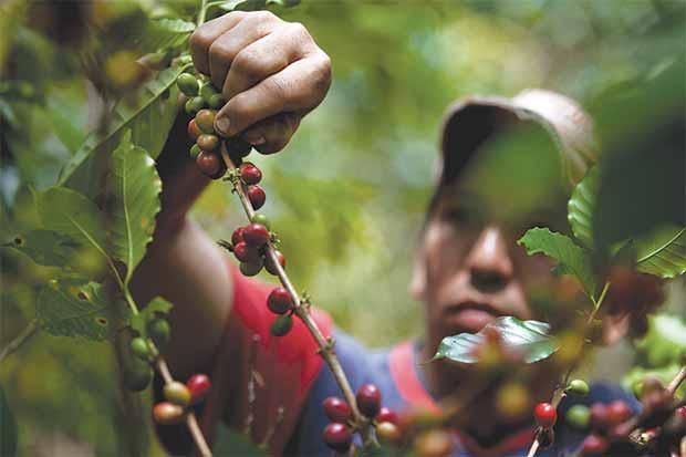 Huelga en Colombia aumenta diferencial de cafés arábica-robusta