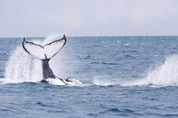 Bahía Ballena tendrá festival de avistamiento de ballenas y delfines