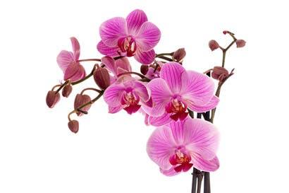 Expo Orquídea inicia mañana