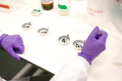 La nueva generación de ratones de laboratorio libres de gérmenes