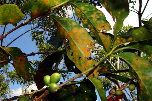 Lluvias por encima de lo normal afectarían cultivos de café