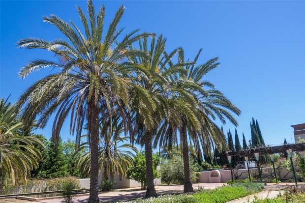 Bloqueo europeo de palmeras fénix costarricenses afecta al sector ornamental