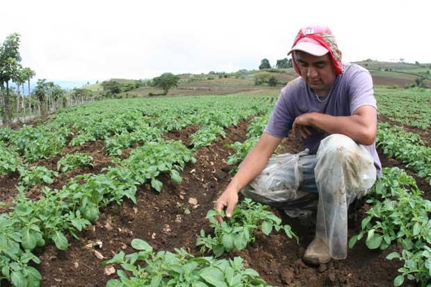 Agricultores y ganaderos deben ¢8.500 millones a la Caja
