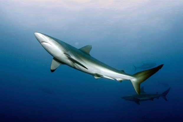 Costa Rica no votará por inclusión de tiburones migratorios para control de ventas