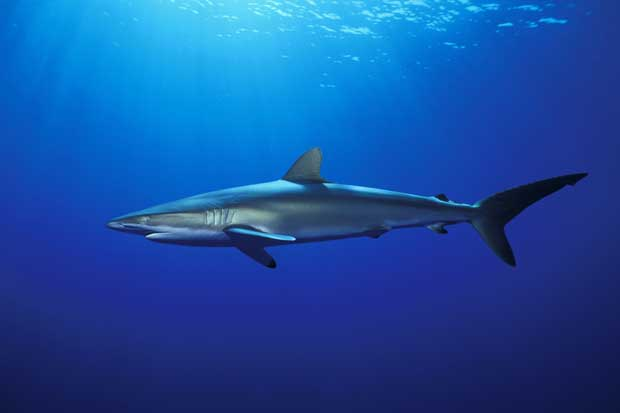 Tiburón sedoso y zorro fue incluido en lista de especies protegidas