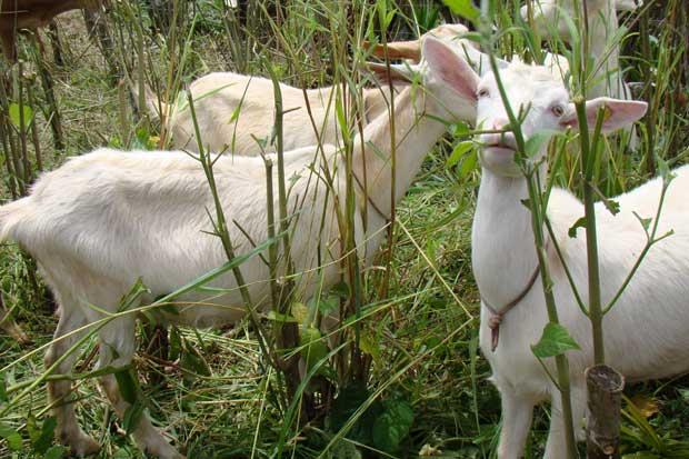 Productores utilizan especies forrajeras para aumentar competitividad