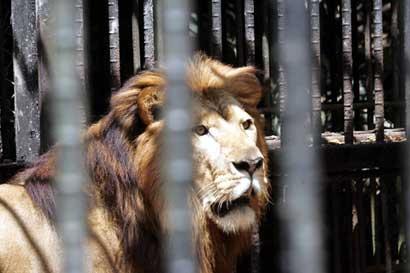 Fundazoo presentó proyecto que permitiría a león Kivú continuar en el Simón Bolivar