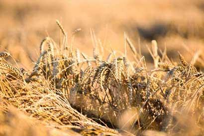 Precios más baratos del trigo ayudan a revivir ventas de EE.UU.