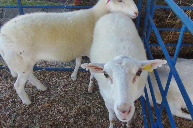 San Carlos lidera producción de ovejas y cabras en el país
