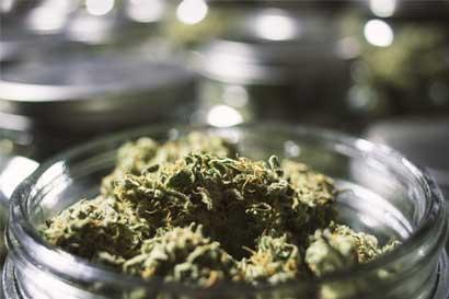 Futuro de marihuana medicinal podría definirse en referéndum