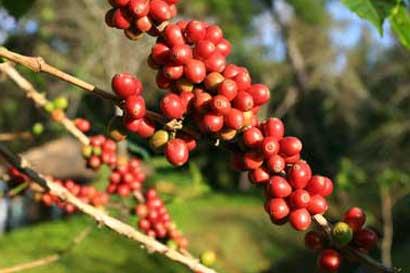 Acuerdo beneficiará producción de café