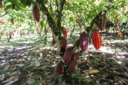 Feria busca fortalecer cacao caribeño para exportación