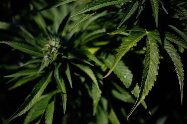 Crece preocupación por burbuja de la marihuana en Canadá